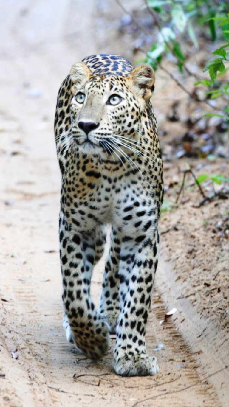Sri Lankan leopard - On safari at Wilpattu national park - The Ibis Wilpattu