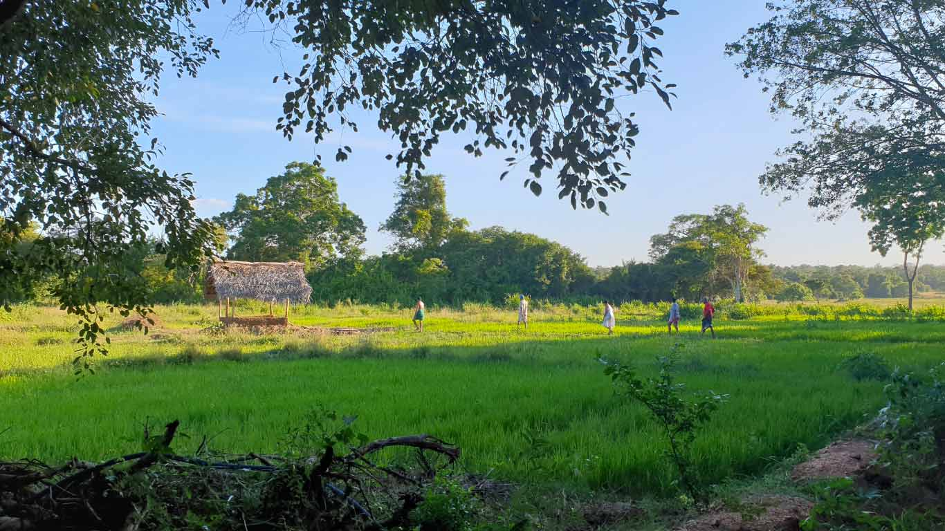 Paddy field and cottage at The Ibis Wilpattu
