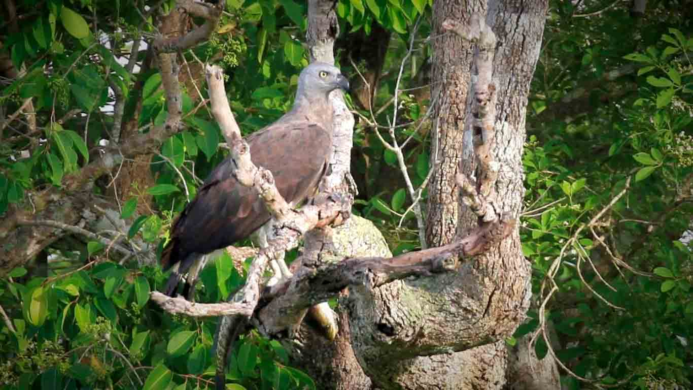 Sri Lankan Birds - Eagle - On foot at The Ibis Wilpattu