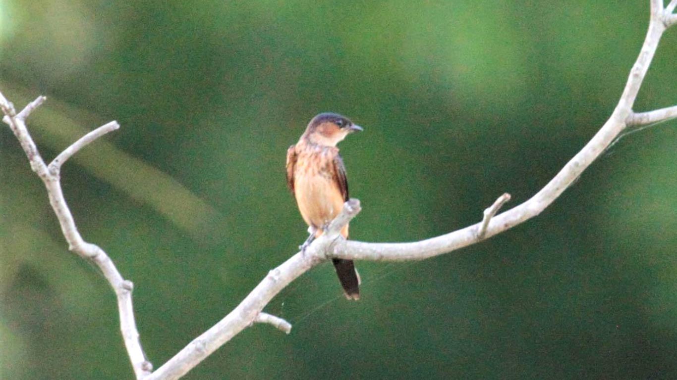 Sri Lankan Birds - On foot at The Ibis Wilpattu