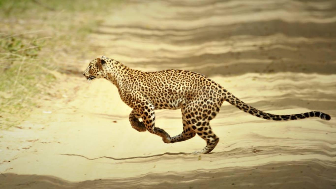 Sri Lankan leopard - On safari at Wilpattu national park - The Ibis Wilpattu