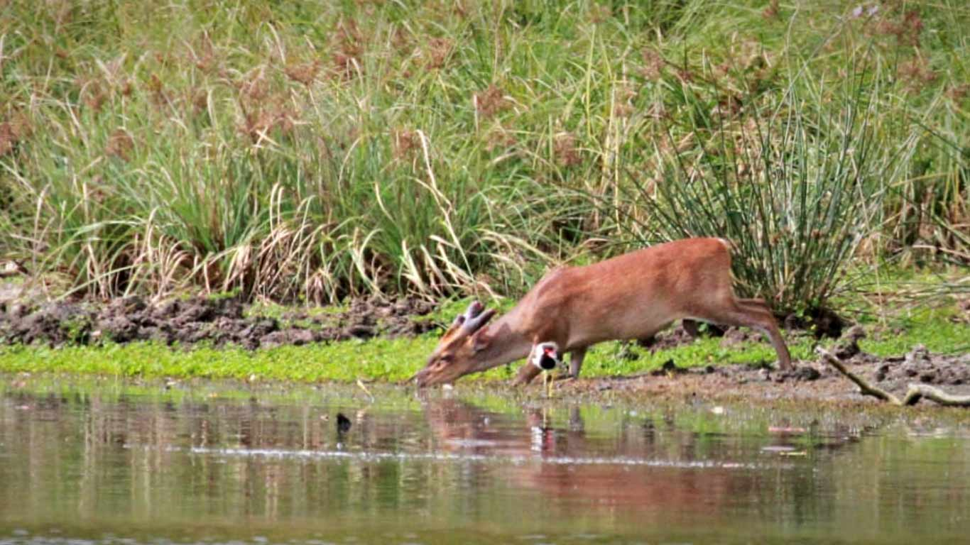 Sri Lankan deer - On safari at Wilpattu national park - The Ibis Wilpattu