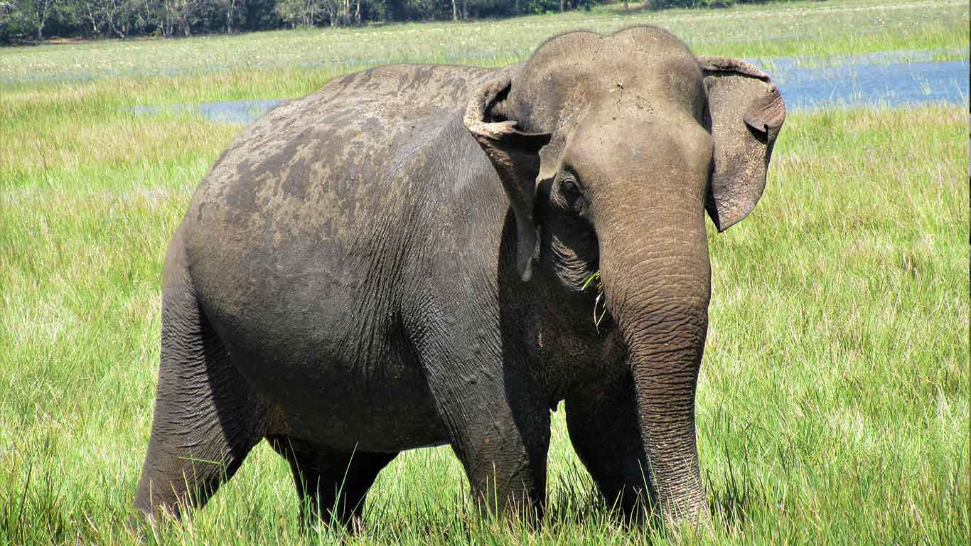 Sri Lankan Elephant - On safari at Wilpattu national park - The Ibis Wilpattu